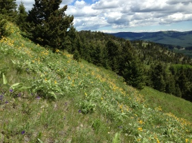 Balsam Root erupts form the hillsides
