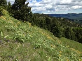 Balsam Root erupts form the hillsides