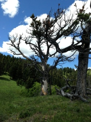 Limber pines in the warm breeze