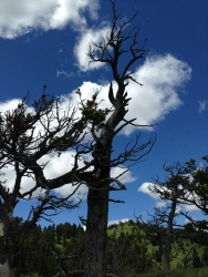 Limber Pine Skeleton