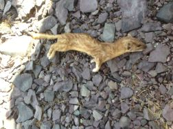 A drying weasel carcass on the rocky shore