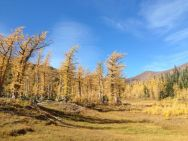 Larch heaven