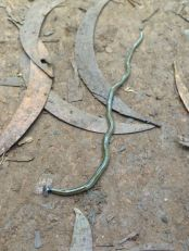 Hawaii's only snake, the Flowerpot Snake, Ramphotyphlops bra minus. It's blind and looks like a worm