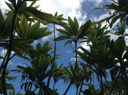 Beneath Ti Plants