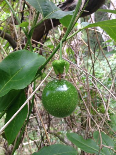 Passion Fruit on Vine