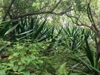 Giant Jungle Agave