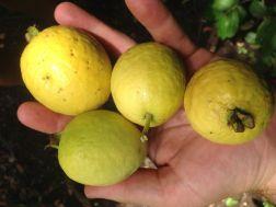 WIld Guava