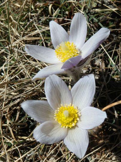 Spring Prairie Crocus