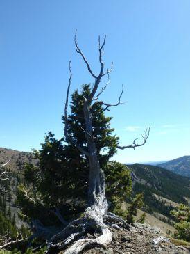 Limber Pines