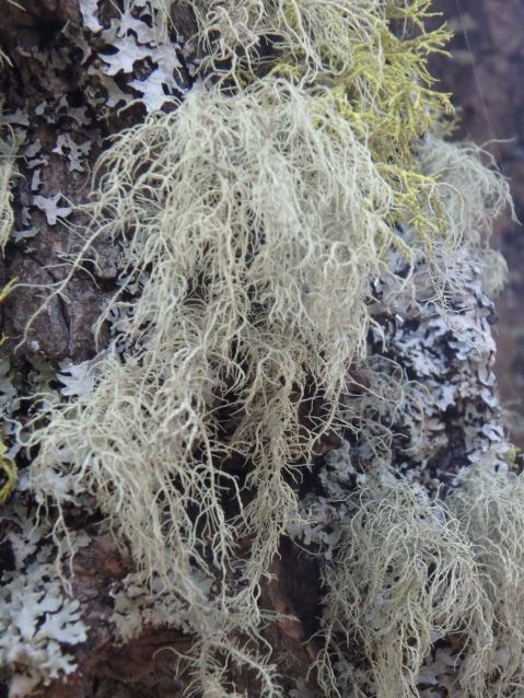 Lichen in the Douglas Fir Grove at Marston Col by the fence line