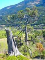 The greatest limber pine of K Country
