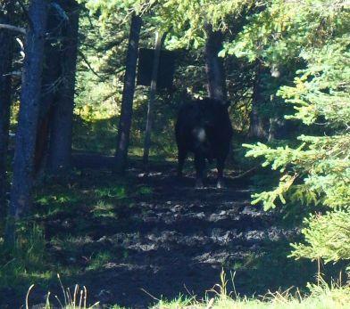 Angry Bull at Gorge Creek Trailhead