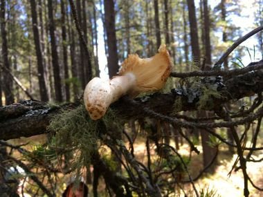 We found this fungus drying on a branch. It turns out the red squirrels gather mushrooms in the fall and dry them out on branches to preserve them into the winter!