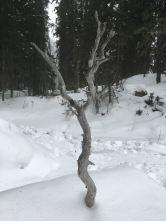 Dry knarled wood
