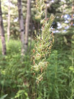 Native grass in flower