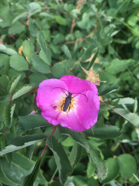 Wild Rose with a wood beatle