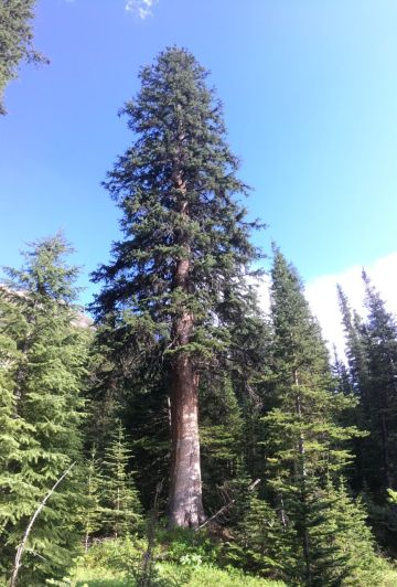 Huge trees in the humid subalpine forest